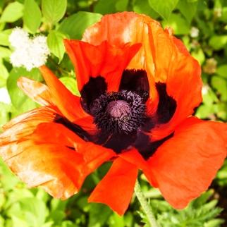 Orange and black poppy June 9 2018 sm