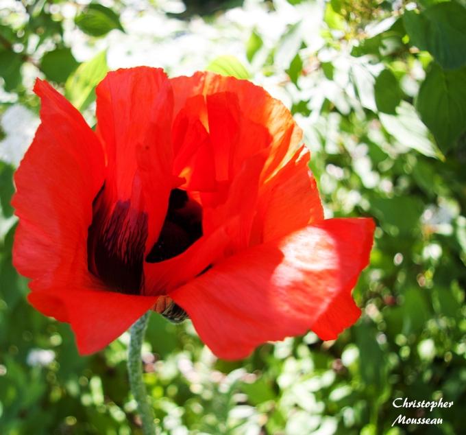 Oriental Poppy in the wind June 8 2018 sm