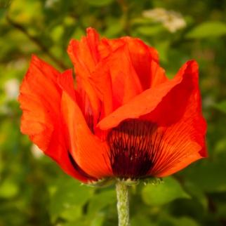 Oriental Poppy June 9 2018 sm