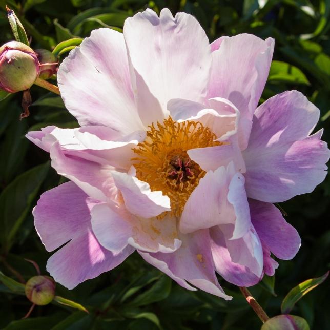 pale pink Peony June 15 2018 sm