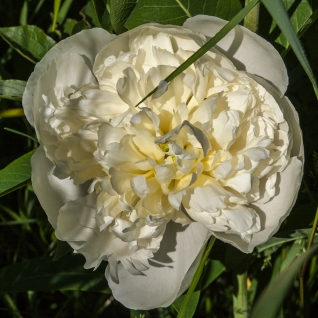 Peony Duchesse de Nemours June 15 2018 b sm