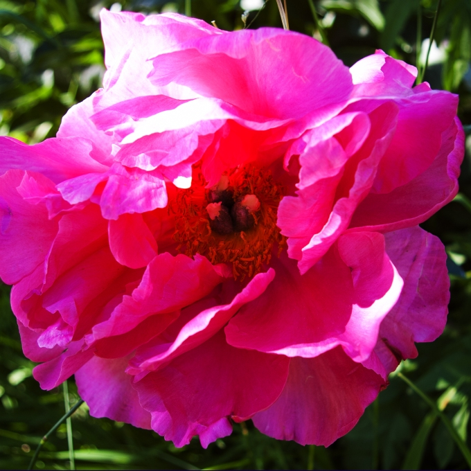 pink Peony June 15 2018 sm