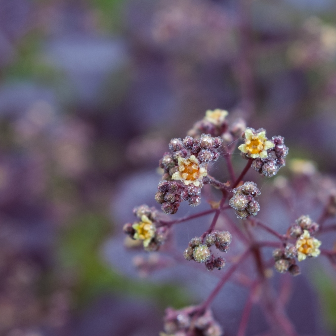 Purple Smoke Tree opening flowers June 9 2018 sm
