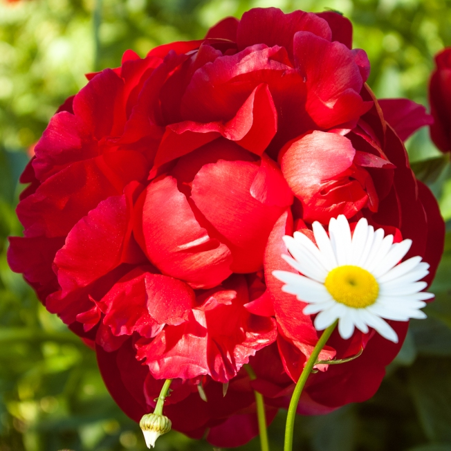 red Peony and daisy June 15 2018 sm