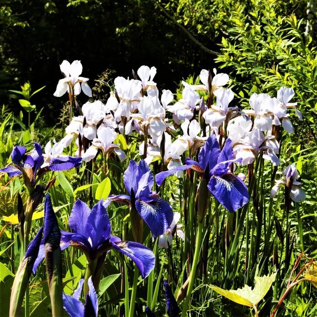 Siberian Iris June 8 2018 sm