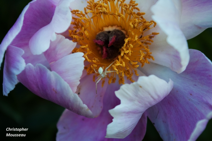 spider on Bowl of Beauty Peony June 28 2018 sm