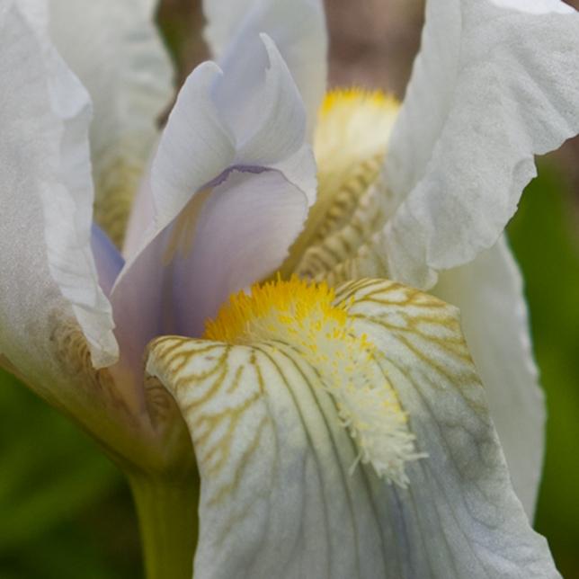 white Iris May 28 2018 closeup small