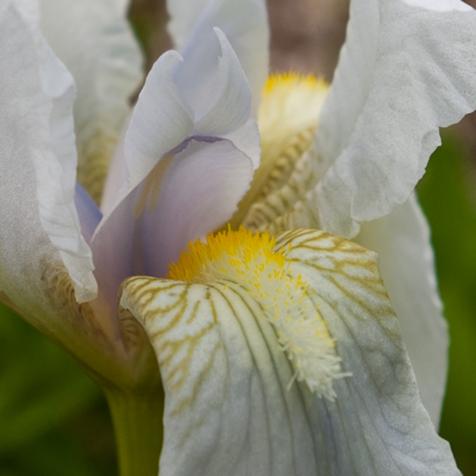 white Iris May 28 2018 closeup small