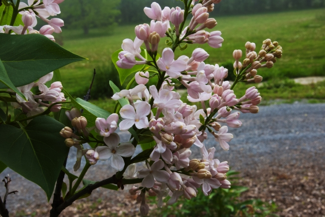 white Lilac blossoms May 228 2018 small