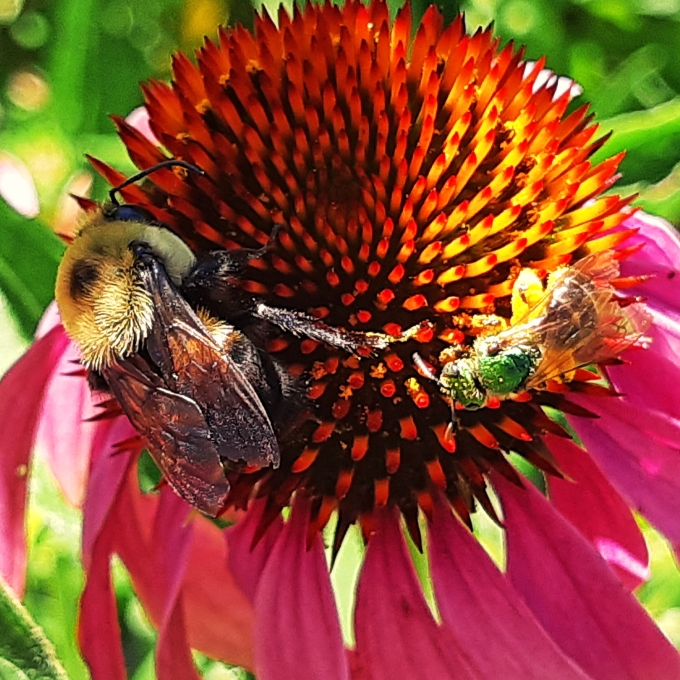 Bees on Echinacea July 22 2018 sm