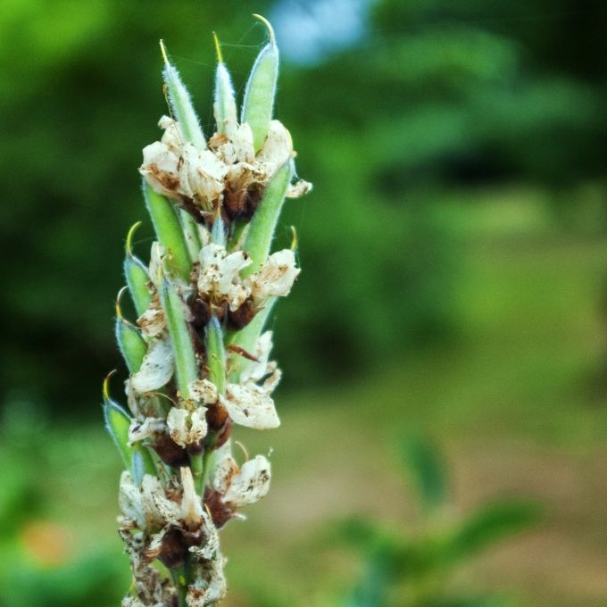 Carolina Lupine seeds forming July 14 2018