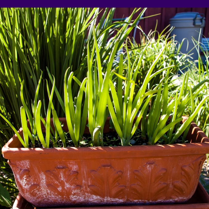 green onion trough June 15 2018