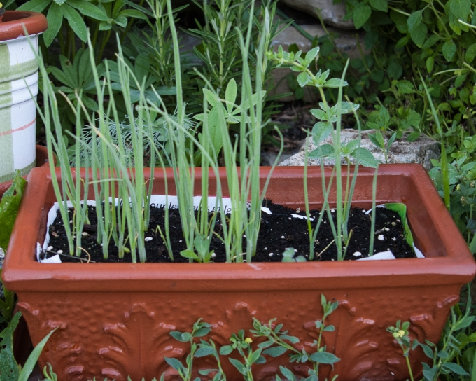 green onions from seed in trough June 29 2018