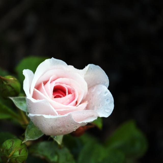Kordes rose 'Cinderella' July 6 2018