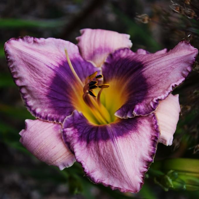 mauve daylily July 14 2018