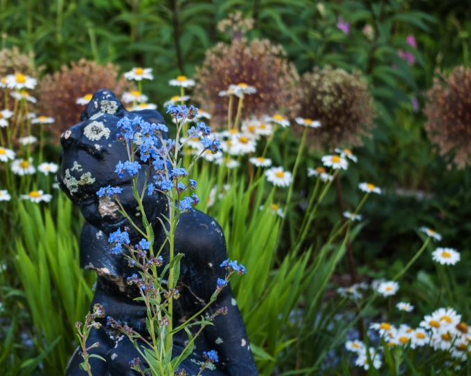 peek-a-boo! Chinese forget me nots 'Cynoglossum amabile' July 6 2018 sm