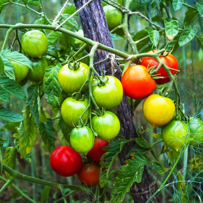 ripening cocktail tomatoes sm