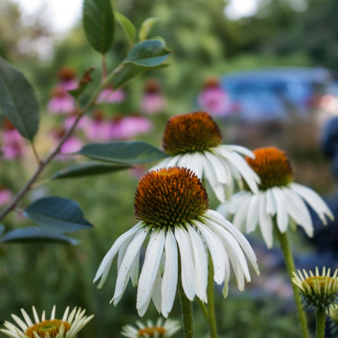 white Echinacea July 20 2018 2