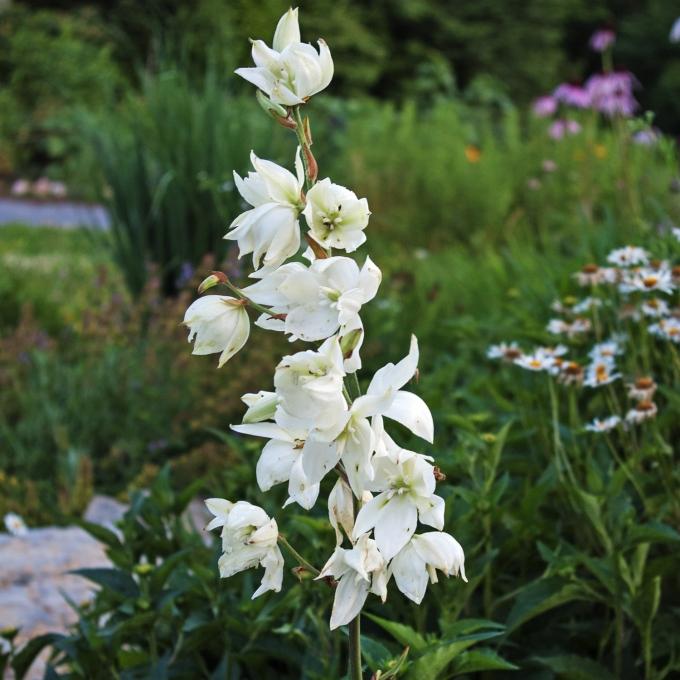 Yucca flower July 6 2018 sm