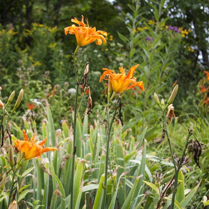 double orange daylilies Aug 2018