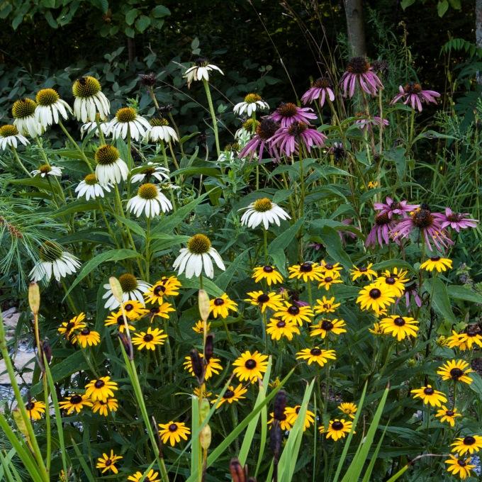 Echinacea and Rudbeckia Aug 24 2018 sm