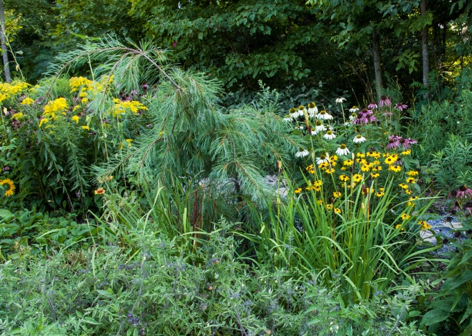 Echinacea and Rudbeckia big picture Aug 24 2018 sm