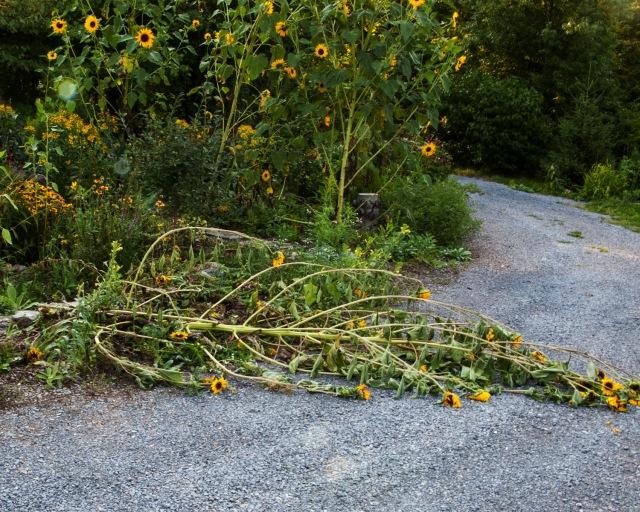 fallen sunflower Aug 24 2018