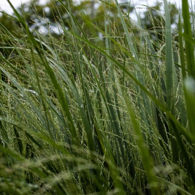 ornamental grasses Aug 18 2018