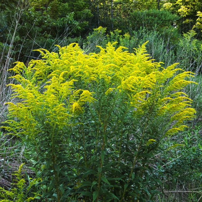 perfect Goldenrod Aug 24 2018 sm