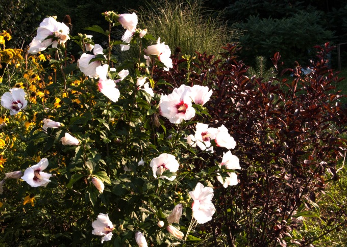 Rose of Sharon and Purple Leaf Sandcherry Aug 24 2018