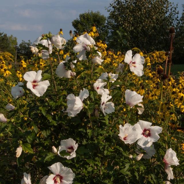 Rose of Sharon and Ratibida pinnata Aug 24 2018