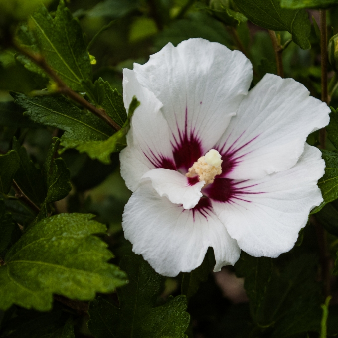 Rose of Sharon Aug 3 2018