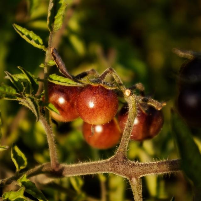 Amythyst Jewel cherry tomatoes ripe