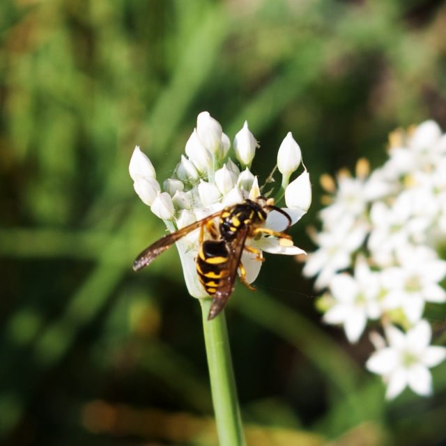 bee on garlic chives Sept 1 2018