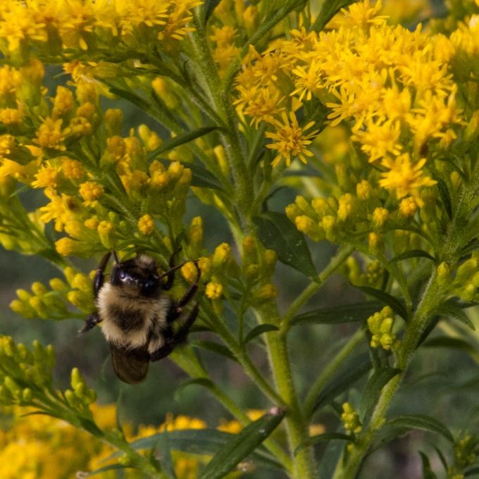 bee on Goldenrod Sept 1 2018