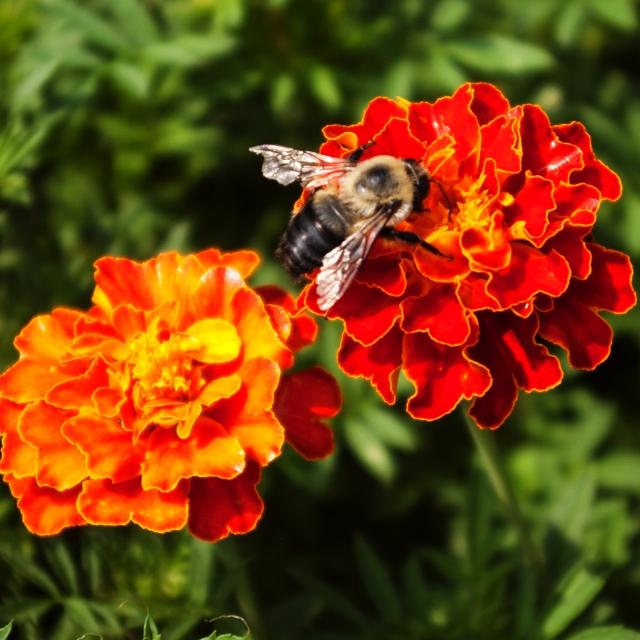 Bee on Marigold Aug 26 2018