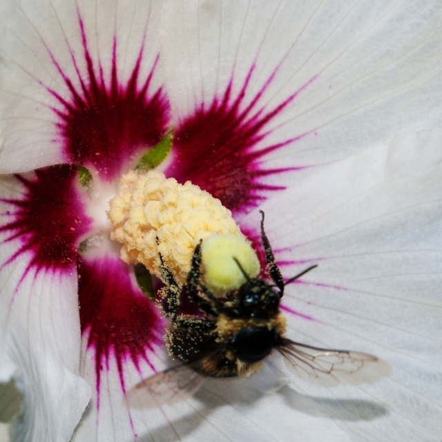 Bee on Rose of Sharon Sept 1 2018