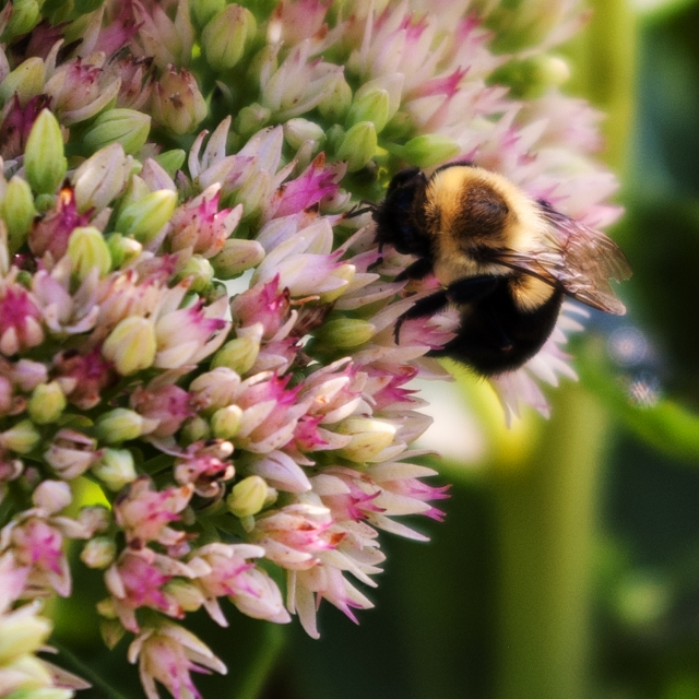 Bee on Sedum Aug 26 2018