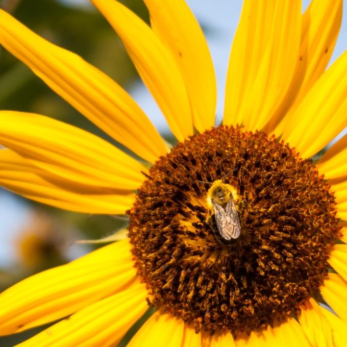 bee on sunflower Sept 1 2018