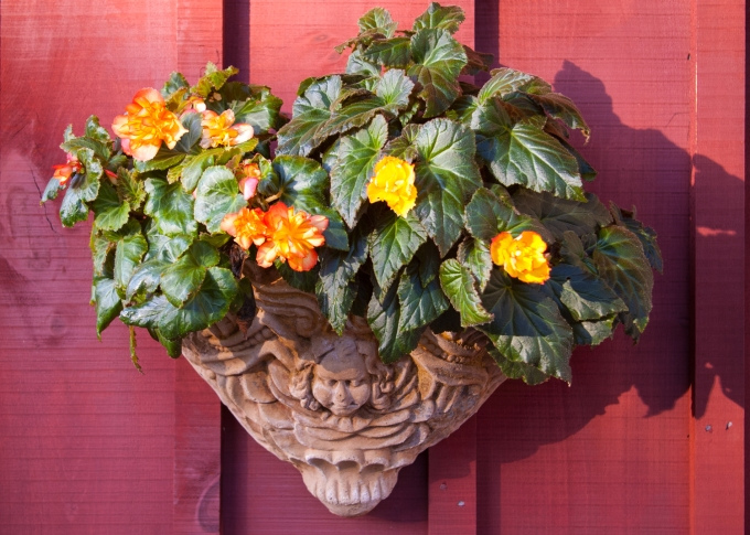 Begonias in wall sconce Sept 7 2018 sm