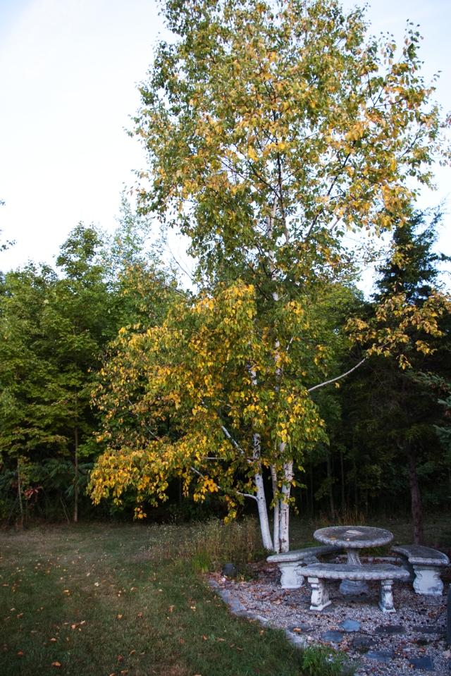 birch Sept 7 2018