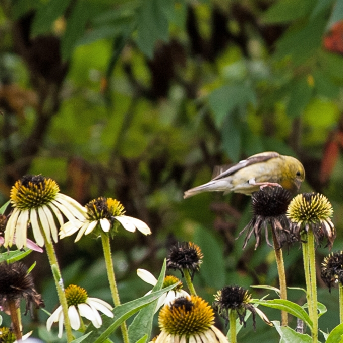 bird on Echinacea Sept 11 2018