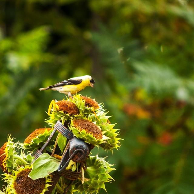 bird on sunflower Sept 11 2018
