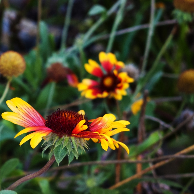 blanket flower Sept 22 2018