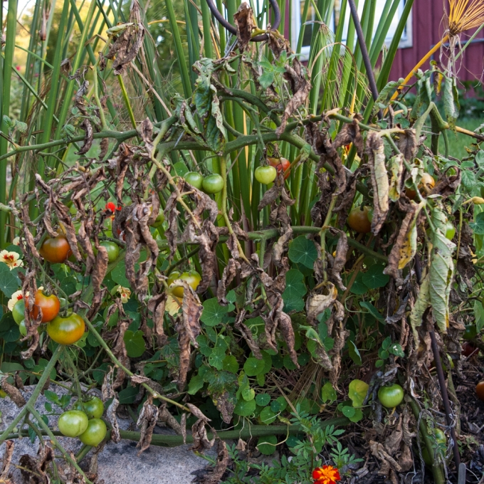 dead tomatoes Sept 22 2018