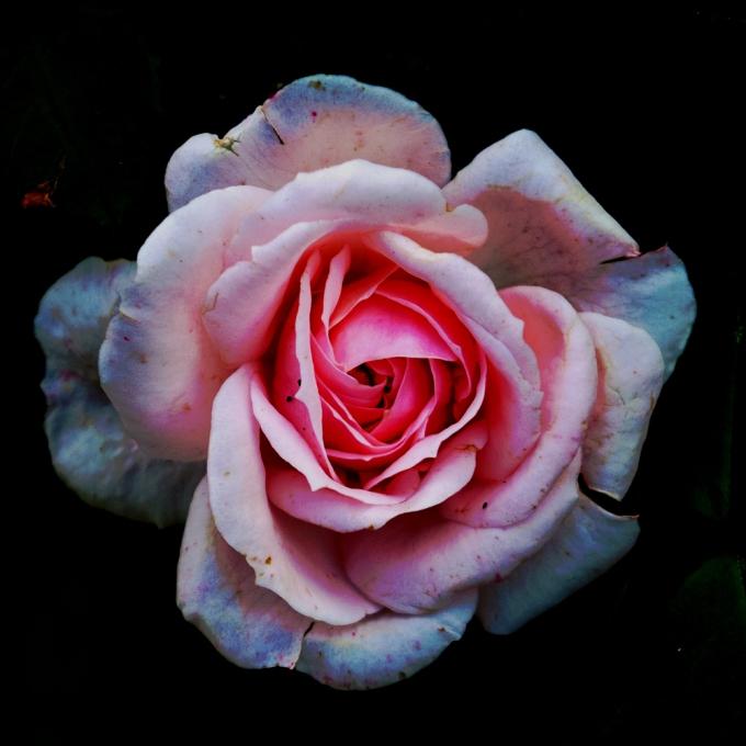 Kordes Cinderella rose Sept 22 2018 sm