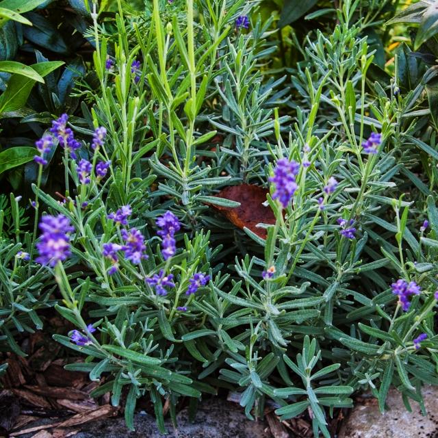 late Lavender Sept 1 2018