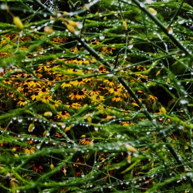 Rudbeckia and Asparagus Sept 11 2018 a