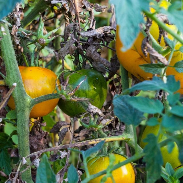 yellow tomato Sept 7 2018 b