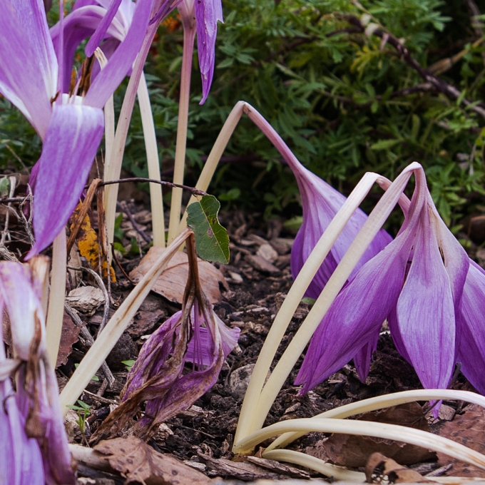 decaying Colchicum October 10 2018